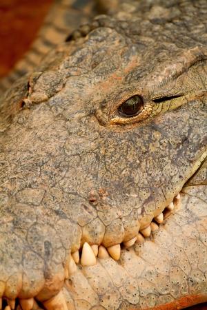 Head of crocodile in closeup photo