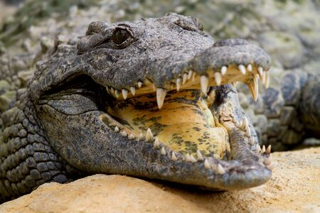 Crocodile is cooling down with mouth open in closeup photo