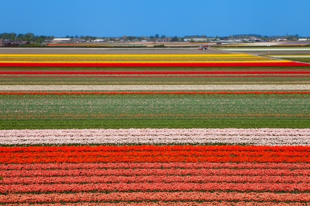 Dutch bulb field of colorful tulips near Lisse photo