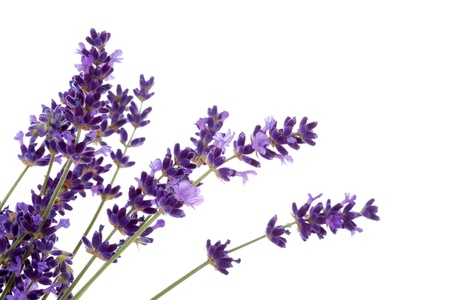 Lavender flower in closeup over white background photo