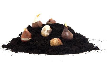 Pile of black garden soil and flower bulbs over white background Stock Photo