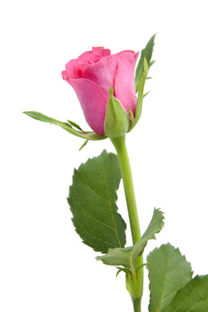 Une rose isolé sur fond blanc