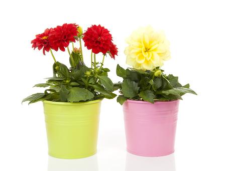白い backgorund を鍋に赤と黄色のダリア花 写真素材