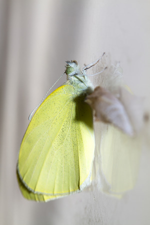 Cabbage butterfly ( Pieris brassicae) came out of cocoon photo
