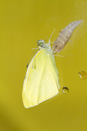 Cabbage butterfly ( Pieris brassicae) came out of cocoon over yellow  photo