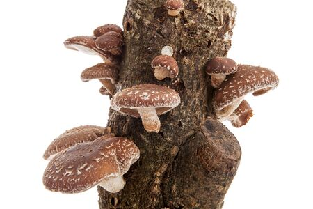 Tree trunk with Shiitake mushrooms over white background
