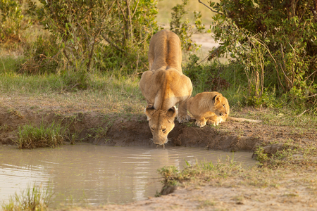 Mother and cub lion in Kenya, Africa drinking water near a lake