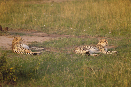 Two cheetah in nature of Kenya, Africa