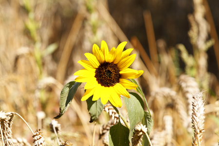 One single sunflower in brown environment