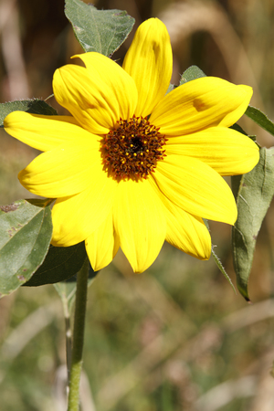 One single sunflower on sunny day
