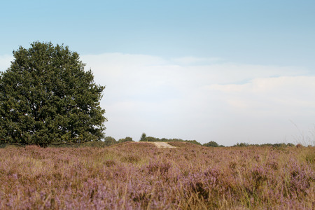 Field of heather in the Netherlands on sunny day with blue sky