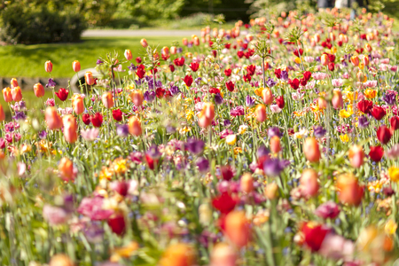Field with colorful Dutch flowers in closeup. Blurry and dreamy Stock Photo