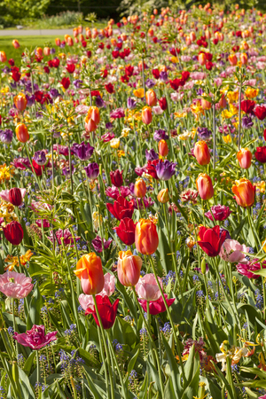 Field with colorful Dutch tulips in closeup Stock Photo