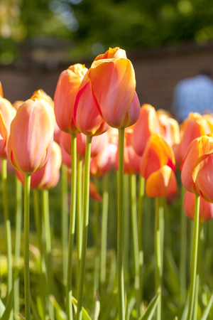 Typical Dutch orange tulips in closeup