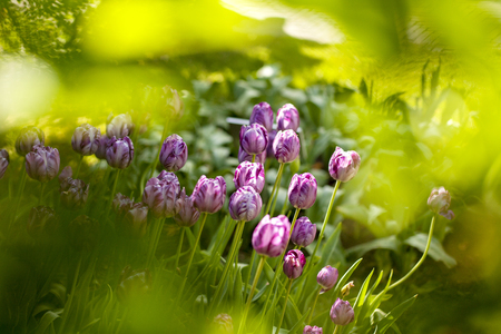 Purple Dutch tulips in green environment