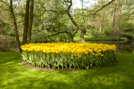 Keukenhof Lisse park with beautiful yellow tulip field