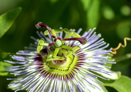 Beautiful opened Passion flower in closeup