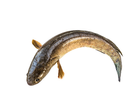 striped snake head fish: striped snakehead fish  isolated on white with clipping path