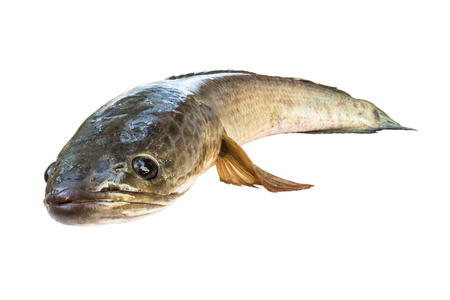 snake head fish: striped snakehead fish  isolated on white with clipping path