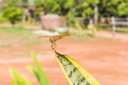 trithemis: Resting gold dragonfly Stock Photo