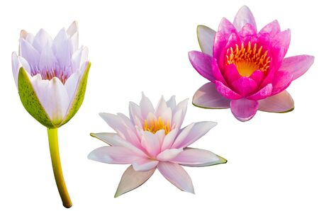 Purple Lotus on isolated white background. with Clipping Path