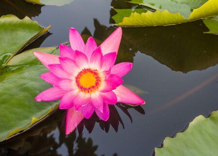 Roze Lotus Stockfoto - 39102307