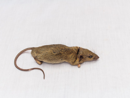 dead rat: Dead rat  on white background stock photo
