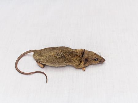 dead rat: Dead rat  on white background stock photo