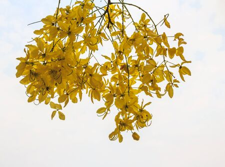 linn: Golden Shower, Purging Cassia  Cassis fistula Linn  national flower of Thailand