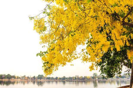 tropica: Golden Shower, Purging Cassia  Cassis fistula Linn  national flower of Thailand