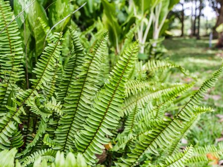 tropical native fern: a flowerless plant that has feathery or leafy fronds and reproduces by spores Stock Photo