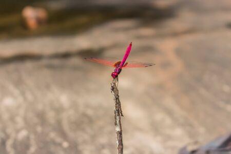crocothemis: red dragonfly stock photo Stock Photo