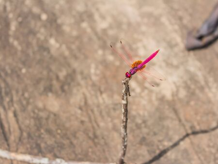 crocothemis: red dragonfly stock photo Stock Photo