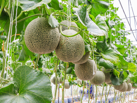 crop  stalks: Cantaloupe melons growing in a greenhouse supported by string melon nets stock photo Stock Photo