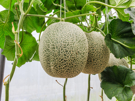supported: Cantaloupe melons growing in a greenhouse supported by string melon nets stock photo Stock Photo