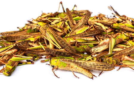 langosta: Locust plagas Foto de archivo