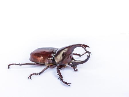 scarabaeidae: Male Siamese rhinoceros beetle, Xylotrupes gideon isolated on white background
