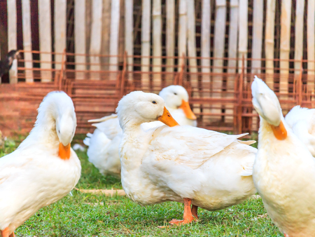cackle: white duck  on the grass Stock Photo