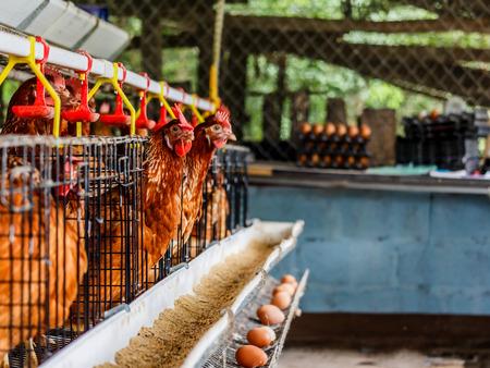 granja avicola: Huevos de gallina en la granja Foto de archivo