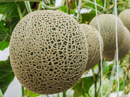 supported: Cantaloupe melons growing in a greenhouse Stock Photo