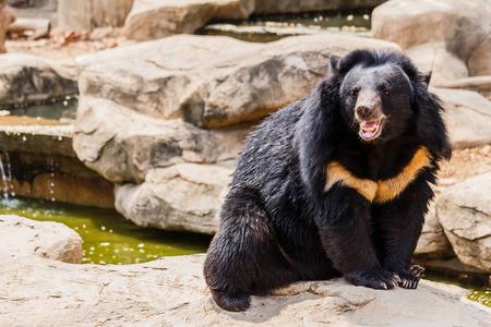 omnivore animal: asiatic black bear near the pool