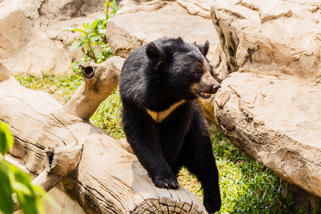 omnivore: asiatic black bear near the pool