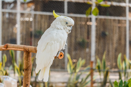 squawk: Beautiful white Cockatoo parrot sitting on a branch