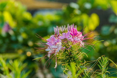 thriving: Pink And White Spider flower(Cleome hassleriana) in the garden Stock Photo