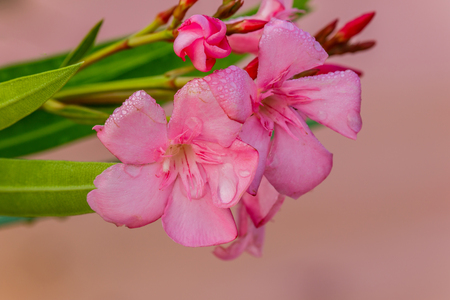 apocynaceae: Oleander flowers ( Nerium oleander, Apocynaceae )The blossoming branch of a pink