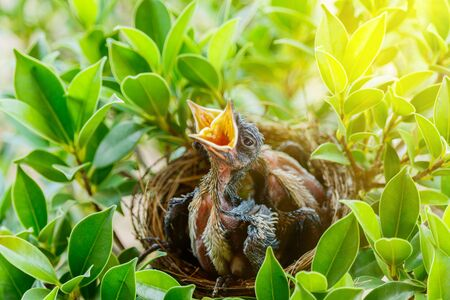 wanting: hungry Baby birds  in a nest wanting the mother bird to come and feed them, copy space