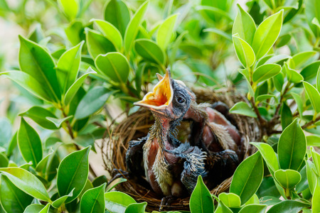 yearning: hungry Baby birds  in a nest wanting the mother bird to come and feed them, copy space