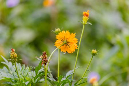 drop in: Yellow flower with water drop in garden