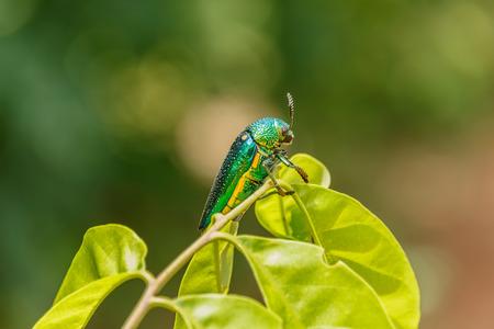 jade plant: Beautiful Jewel Beetle or Metallic Wood-boring (Buprestid) on green leaf. Stock Photo