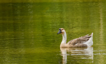 Grey Goose swimming in a large pond. Stock Photo